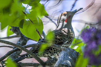 Photograph - Flicker In The Lilacs by Albert Seger