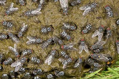 Flies On Cow Dung Art Print by Bob Gibbons
