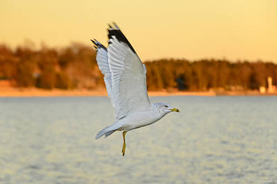 Winter Animals Rights Managed Images - Flight at Sunset Royalty-Free Image by Steven Michael