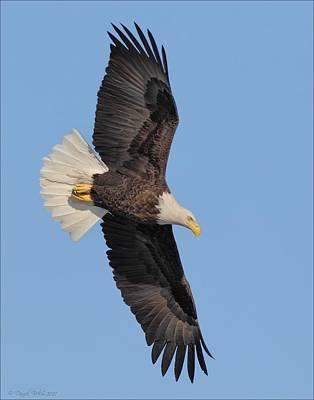 Photograph - Flight Of A Bald Eagle by Daniel Behm