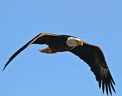 Photograph - Flight Of A Bald Eagle by Ira Runyan
