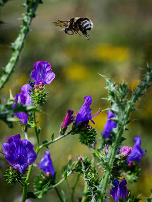 Bee Collects Nectar Photograph - Flight Of The Bumblebee by Marco Oliveira