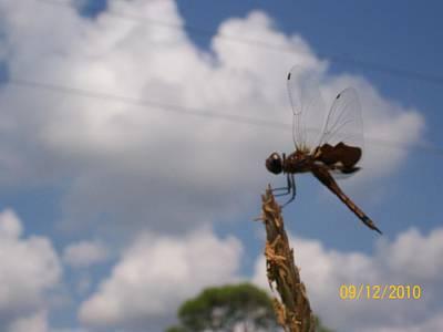 Flight Of The Dragonfly Art Print by Belinda Lee