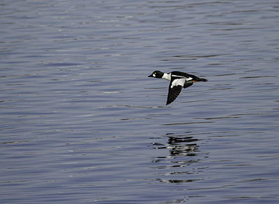 Goldeneye Photograph - Flight Of The Drake Goldeneye by Thomas Young