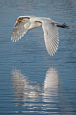 Photograph - Flight Of The Egret D9514 by Wes and Dotty Weber
