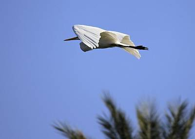 Art Print featuring the photograph Flight Of The Egret by Penny Meyers