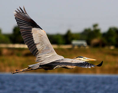 Photograph - Flight Of The Great Blue Heron by Ira Runyan