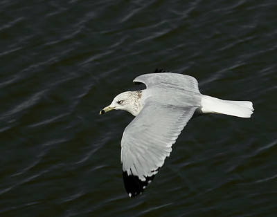 Flying Seagull Photograph - Flight Of The Gull by Ernie Echols