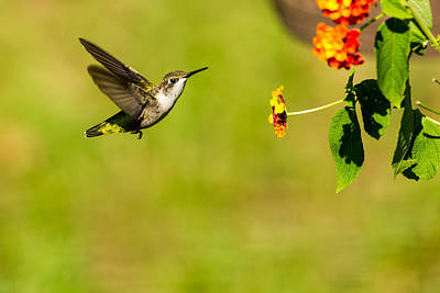 Photograph - Flight Of The Hummingbird by David Hahn
