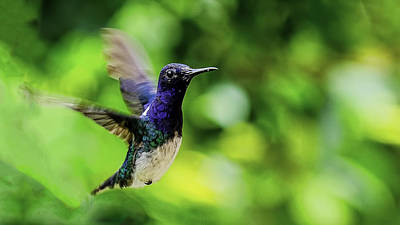 Print featuring the photograph Flight Of The Hummingbird by Rob Tullis