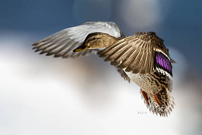 Uplifting Photograph - Flight Of The Mallard by Bob Orsillo