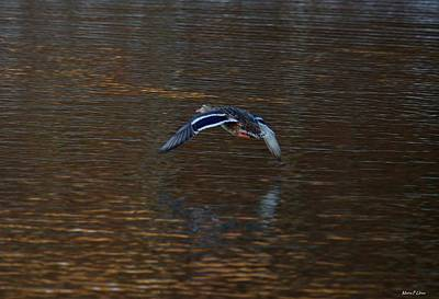 Photograph - Flight Of The Mallard by Maria Urso