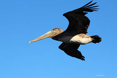 Photograph - Flight Of The Pelican by Dick Botkin
