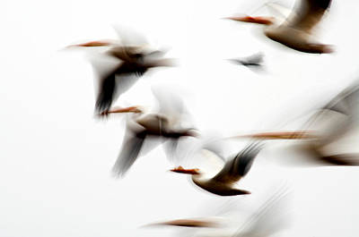 Photograph - Flight Of The Pelican  by Eric Rundle