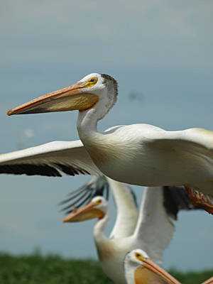 Flight Of The Pelican Art Print by James Peterson