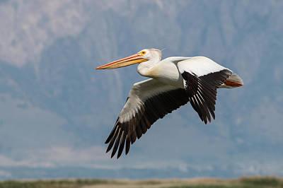 Photograph - Flight Of The Pelican by John Ferrante