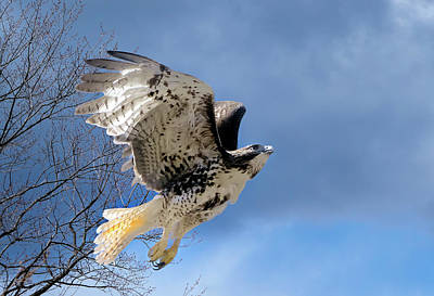 In Flight Photograph - Flight Of The Red Tail by Bill Wakeley