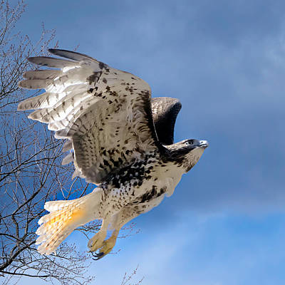 Flight Of The Red Tail Square Art Print by Bill Wakeley