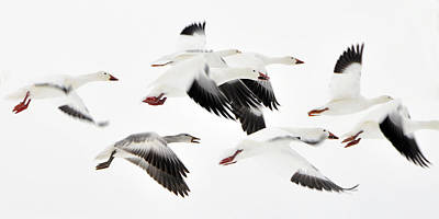 Flight Of The Snow Geese Print by Dan Myers