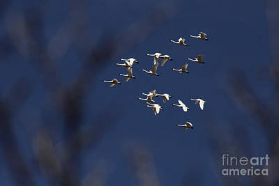 Photograph - Flight Of The Snow Goose by Alyce Taylor