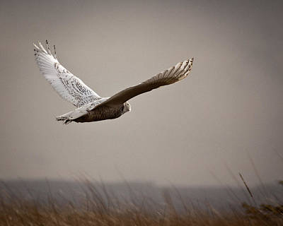 Photograph - Flight Of The Snowy Owl by Erin Kohlenberg