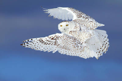 Flight Of The Snowy - Snowy Owl Art Print
