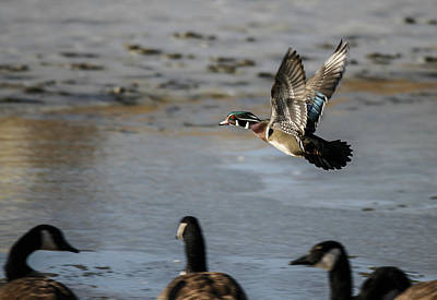 Photograph - Flight Of The Wood Duck by Jill Bell