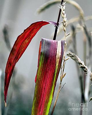 Photograph - Flint Corn Stalks by Janice Drew