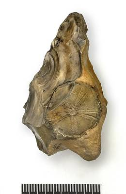 Handaxe Photograph - Flint Handaxe With Fossil Echinoid by Science Photo Library