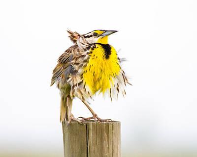 Meadowlark Wall Art - Photograph - Flluffy Meadowlark by Bill Swindaman