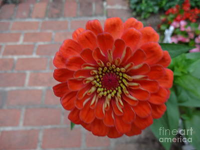 Photograph - Hovering Zinnia by Rod Ismay