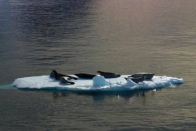 Antarctica Photograph - Floating Crabeaters by FireFlux Studios