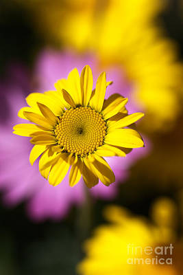 Print featuring the photograph Floating Daisy by Joy Watson