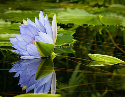 Photograph - Water Lily Reflections by James Hammond