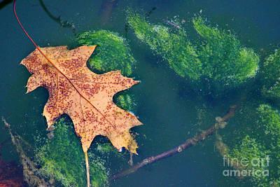 Photograph - Floating Leaf  by Karen Adams
