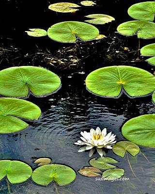 Photograph - Floating Lily by Susie Loechler