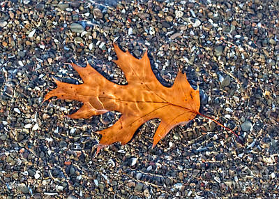 Photograph - Floating Oak Leaf In Pebble Stream by Barbara McMahon