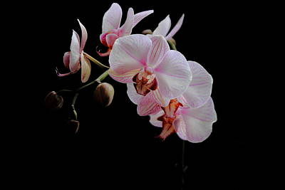 Photograph - Floating Orchid by Theresa Selley