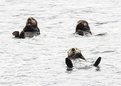 Photograph - Floating Sea Otters by Saya Studios
