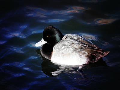 Lesser Scaup Photograph - Floating With Sunshine by Zinvolle Art