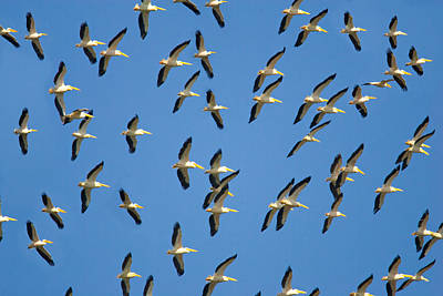 Flock Of Birds Flying In The Sky Art Print