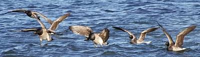 Photograph - Flock Of Brant by Bradford Martin