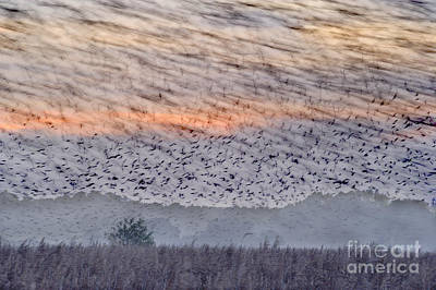 Photograph - Flock Of European Starlings by Andrew Bailey FLPA