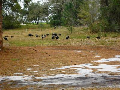 Flock Of Osceola Turkeys Art Print by Tonna Mears