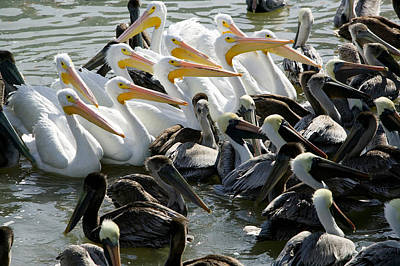 Flocks Of Birds Photograph - Flock Of Pelicans In Water, Galveston by Panoramic Images