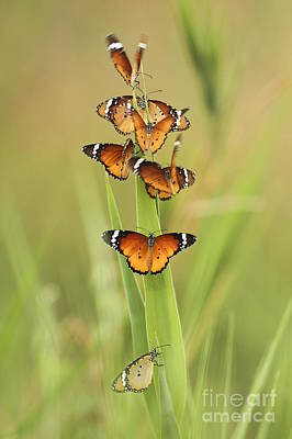 Tiger Markings Photograph - Flock Of Plain Tiger Danaus Chrysippus by Alon Meir