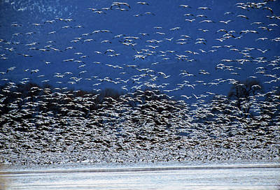 Of Birds Photograph - Flock Of Rosss Geese, Chen Rossii by Cagan H. Sekercioglu