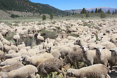 Photograph - Flock Of Sheep by Melinda Fawver