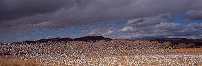 Of Birds Photograph - Flock Of Snow Geese Chen Caerulescens by Panoramic Images
