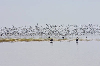 Photograph - Flock Of Terns And Pelicans In The Florida Bay Off The Everglades by Randall Nyhof